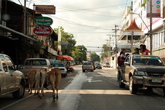 Spooked Cows Songkran