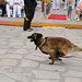 MWD Dog running