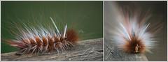 Caterpillar (mo.namo) Tags: macro canon insect wildlife australia caterpillar queensland australien makro insekt nahaufnahme canon450d