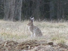 Three-eared rabbit, pic 2 (Joyz253) Tags: rabbit jnis