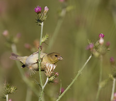 Goldfinch (Sarbhloh/Harjeet) Tags: 7d garinregionalpark canon500f4is