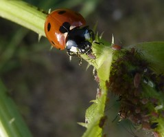 Another one bites ....... (green gennii) Tags: nature 18611 predetors