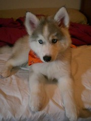 My baby.... (bernabe78) Tags: blue dog eye puppy husky tank kaia eskimo kj huskimo