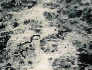 giantcongosnake