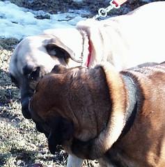 Gwen & Lady (muslovedogs) Tags: dogs mastiff gwen excalibur mylady myladyoffspring