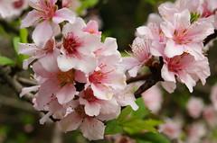 Sakura (ddsnet) Tags: plant flower sony 350  cherryblossom sakura         cherry blossom 350