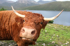 Moo 2 U , Skye (Theresa Elvin) Tags: skye animal fabulous highlandcow explored incrediblenature ilovemypics peachofashot earthanditsincredibleanimals 100commentgroup