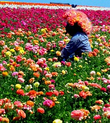 Harvesting Rainbows (moonjazz) Tags: california pink flowers orange plant color green field yellow work spring rainbow harvest grow vivid carlsbadflowerfields bloom fields bouquet pick agriculture choices choose gather carslbad