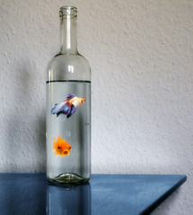 bottlefishes (Suzanne's stream(slowly coming back)) Tags: photoshop bottle goldfish flasche fantasie goldfische damncool