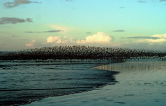 Shorebirds flying Ocean Shores (jc.winkler) Tags: washington oceanshores