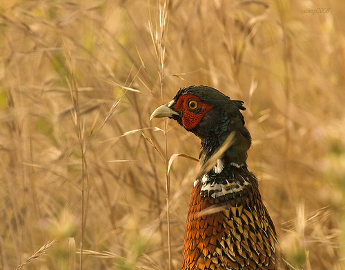 Ring Necked Pheasant in Morning Light