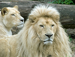 Blonds have more fun ! (LOL) (Ferdi's - World) Tags: animal lion rhenen whitelion leeuw ouwehandsdierenpark 14juni2008 mameevooreenuitje zoorhenen