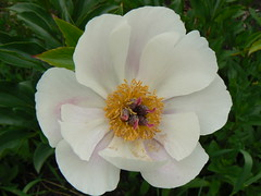 Peony in the front yard