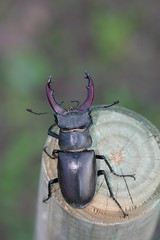 Lucanus cervus (Laerte Gamberoni) Tags: brown macro digital canon eos grande big beetle 1855mm insetto volante marrone italiano alato cervo mandible 100mmmacro lucanus cervus mandibole 450d xilofago lucanide lucaniidae
