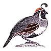 partridge (3doel82) Tags: fish bird animals insect gambar koleksi ikan belajar burung binatang carnivora serangga mamalia amphibi