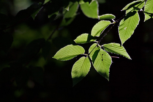 Birch Leaves with Guests