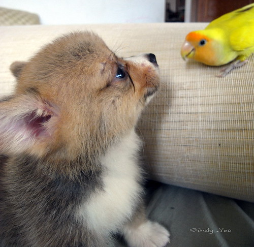Confused Corgi Puppy | Cute Puppies | The Daily Cute