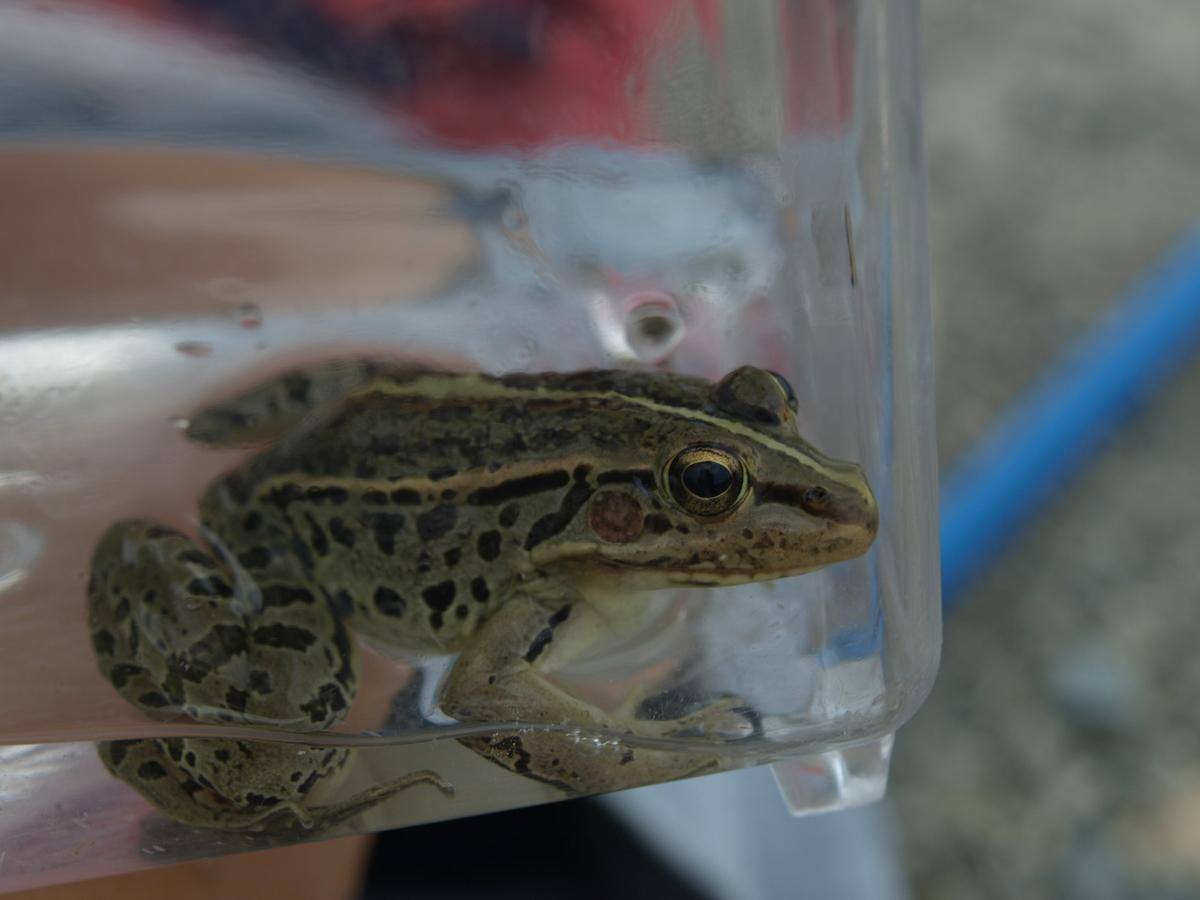 Frog of Japan in Kobe