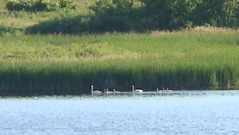 8Swans3 by Mully410 * Images