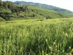 Médéa - Communale (intasko) Tags: green nature grass season algeria spring vert algerie blida printemps medea alger communale wilaya
