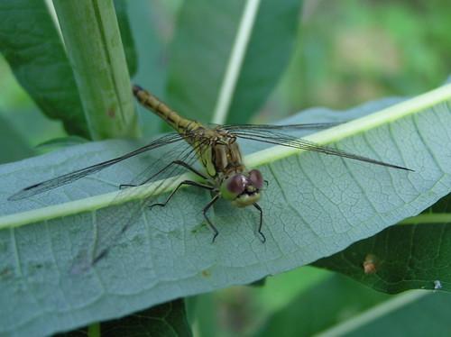 Sudenkorento katsoo kohti