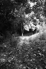 forest walk- kapalua, maui (skizzle) Tags: hawaii maui kapalua