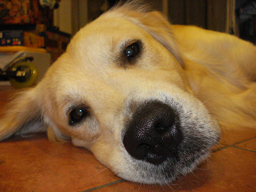golden retriever dog names. Dog Breed: Golden Retriever