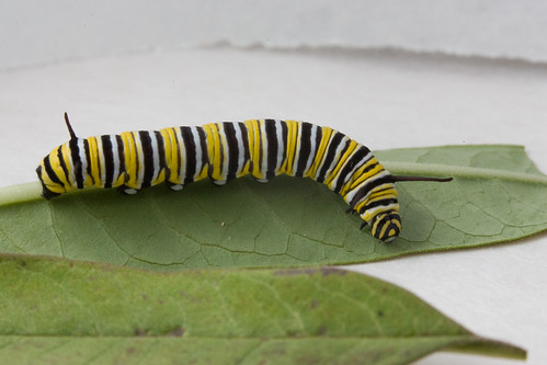 Monarch Butterfly caterpillar (Danaus plexippus) - 4th Instar
