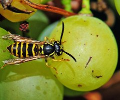 Wasp / Wespe (Habub3) Tags: wespe weintrauben nikon d300 makro macro wasp flickrlovers naturesfinest aplusphoto fantasticinsect anawesomeshot platinumphoto goldstaraward fauna habub3 nature photo vineyard weinberg weintraube grape grapes digitalcameraclub mywinners viewonblack beautifulmonsters hymenoptera insect