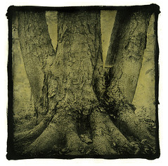 Old chestnut tree (Roman Aytmurzin) Tags: tree 6x6 print square fabriano altprocess gumoil