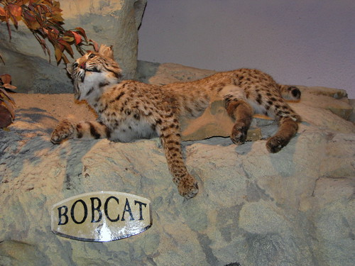 Bobcat (Lynx rufus) - display: