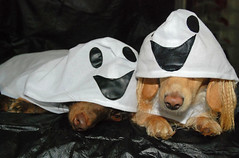 Even ghosts get tired (Doxieone) Tags: costumes dog fall halloween costume interestingness ghost dachshund explore ghosts 2008 31 1002 explored halloween2008 halloweenfall2008set
