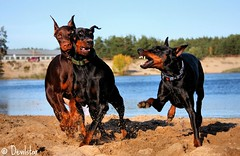 Campary, Ramya & Devvu (Devilstar) Tags: blue playing dogs fun outdoors twins play siamese land doberman collar gem ramya flox dobermanns mnniku campary koerad mngivad sonado legrant givveeon hainide bekebiene dobermannid