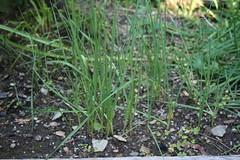 baby garlic