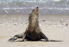 Female Seal Sandwich Harbour