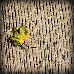 Textures (nathascha) Tags: fall leaf pentax sidewalk utata thursdaywalk k100d pentaxfa50mmf14 nathascha utata:project=tw132