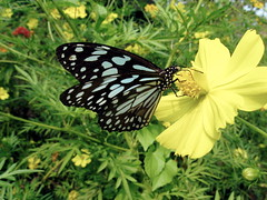 Blue tiger butterfly (kids favorite)