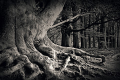 under the old tree (heavenuphere) Tags: old autumn bw tree fall topf25 netherlands woods utrecht doorn kaapsebossen herfst roots nederland trunk bos bossen