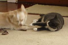Kitten & Daisy - 74 (Andre Reno Sanborn) Tags: chihuahua kitten sweetpea daisy