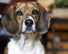 Riley (dog ma) Tags: dog pet beagle riley canine dogma petportrait nikkor50mm nikond80 youvsthebest thepinnaclehof
