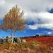 DSC_9832 - Lone Birch
