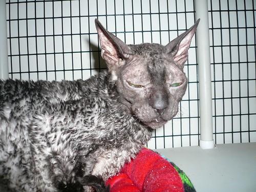 hypoallergenic cat breeds. Hypoallergenic Cats: Should