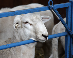 RR Katahdin ram lamb