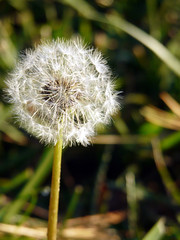 Finally, my very own wishing flower! (Lea and Luna) Tags: white flower wishes 365 dandilion onedayatatime project365 dayninetyfour wishingflower thankstopaulforthename