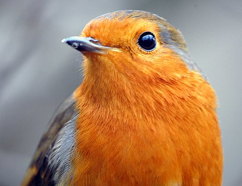 robin number one