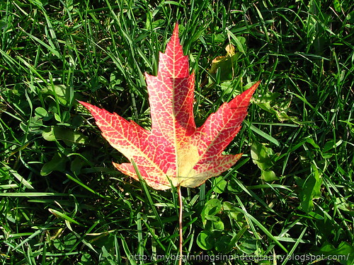 Picture of a maple leaf that looks like the Flag of Canada