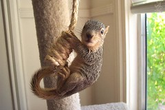 Baby Fox tree squirrel, Mary Cummins (Mary Cummins) Tags: california wild rescue baby fish game tree animal losangeles squirrel babies wildlife ill department permitted injured broker appraisal licensed appraiser fishgame orphaned wildliferehabilitation fishandgame wildliferehabber californiadepartmentoffishandgame animaladvocates marycummins marycumminscobb marycobb wildliferehabilitator wwwanimaladvocatesus californiadepartmentoffishgame animaladvocatesus marycumminscom marykcummins cumminsrealestateservices