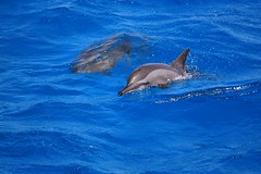Dolphins (Sas & Rikske) Tags: red sea mer rouge la tiere is redsea egypt zee mc dolphins animales usm animaux animais animali gregor dolfijn   egypte dyr elimet rode djur  ef70200mm dolfijnen f4l  ivotinje zwierzt riksketervuren  redseadolphin