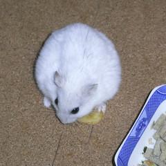 バナナチップを食べるましろ