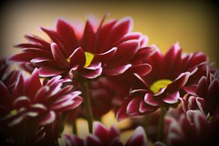 I  Flickr ( dragonflyriri  (Limited Flickr Time)) Tags: flower nature floral vintage december bokeh quote daisy 1960s 2008 vignette bej img0899 excellentsflowers natureselegantshots mimamorflowers awesomeblossoms flickrflorescloseupmacros